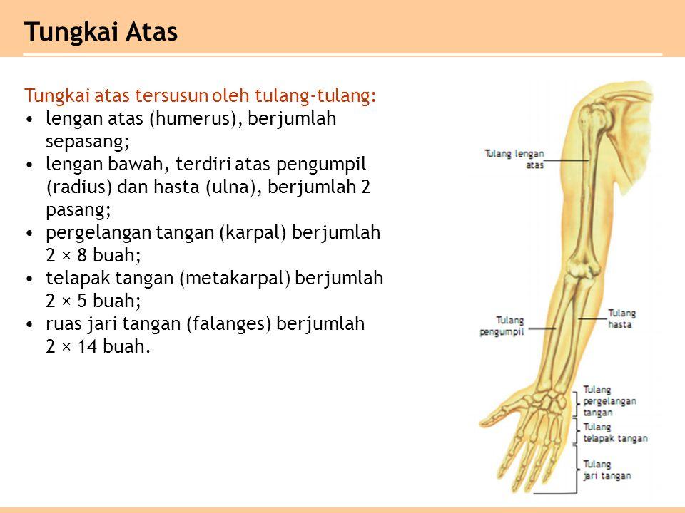 Tungkai atas tersusun oleh tulang-tulang: lengan atas (humerus), berjumlah sepasang; lengan bawah, terdiri atas pengumpil (radius) dan hasta (ulna), b