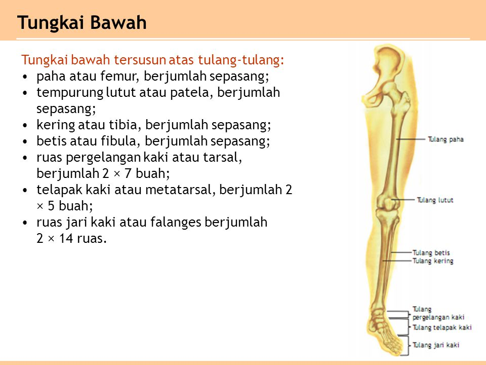 Tungkai bawah tersusun atas tulang-tulang: paha atau femur, berjumlah sepasang; tempurung lutut atau patela, berjumlah sepasang; kering atau tibia, be