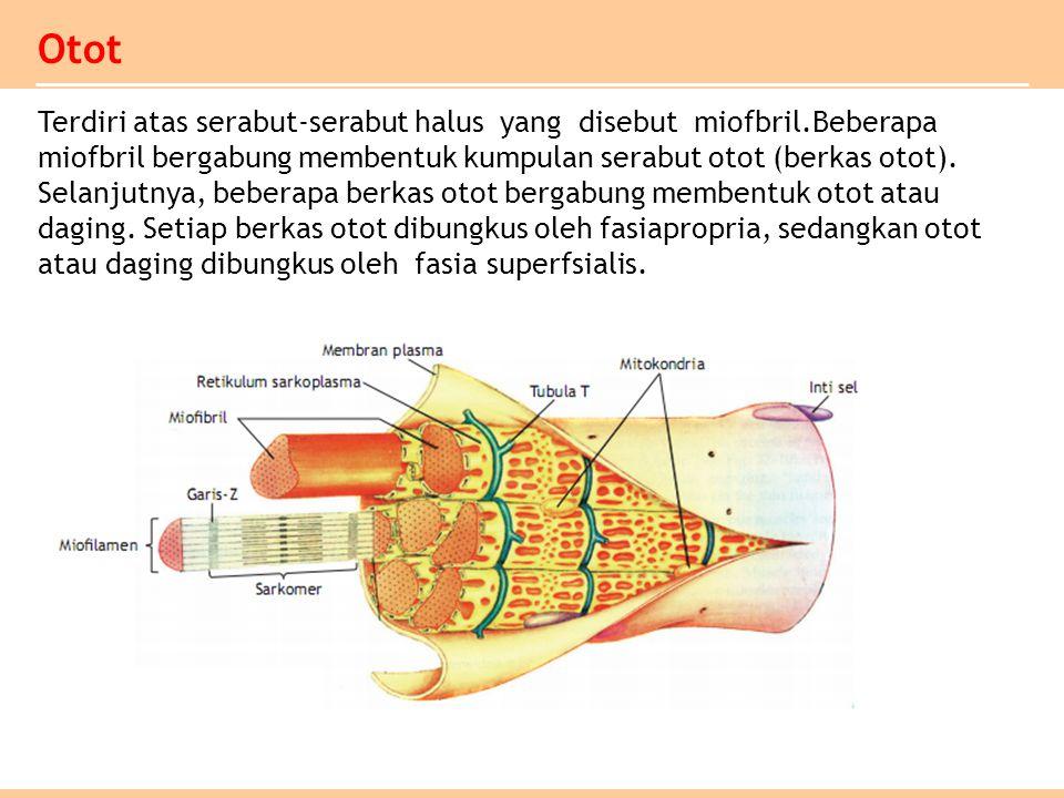 Otot Terdiri atas serabut-serabut halus yang disebut miofbril.Beberapa miofbril bergabung membentuk kumpulan serabut otot (berkas otot). Selanjutnya,