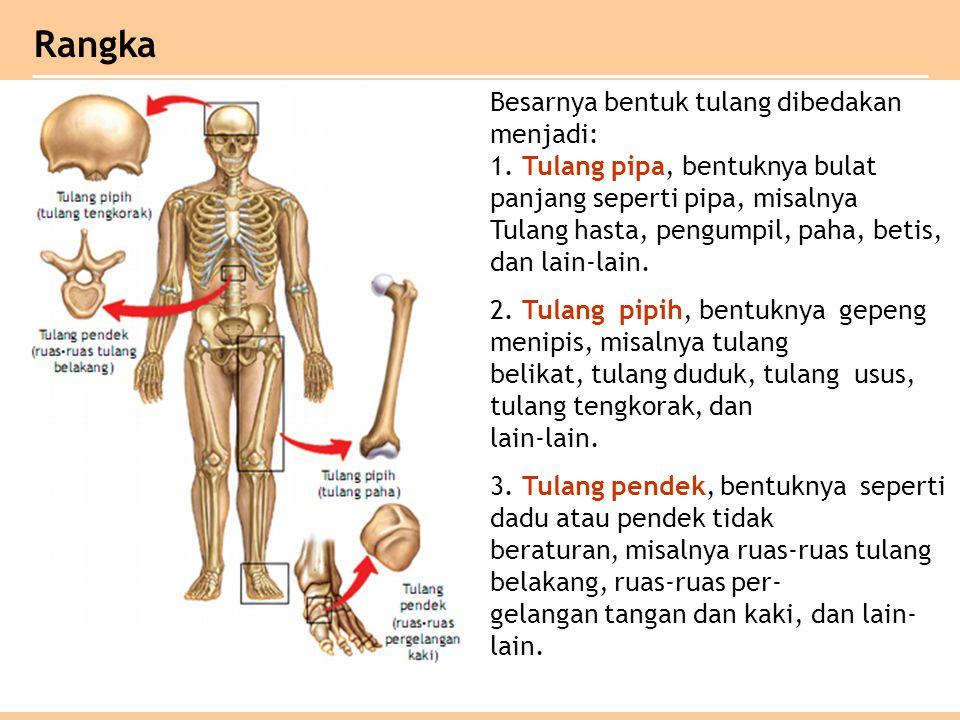 Besarnya bentuk tulang dibedakan menjadi: 1. Tulang pipa, bentuknya bulat panjang seperti pipa, misalnya Tulang hasta, pengumpil, paha, betis, dan lai