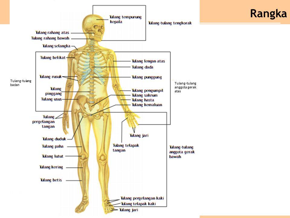 Tulang-tulang badan Tulang-tulang anggota gerak atas Rangka