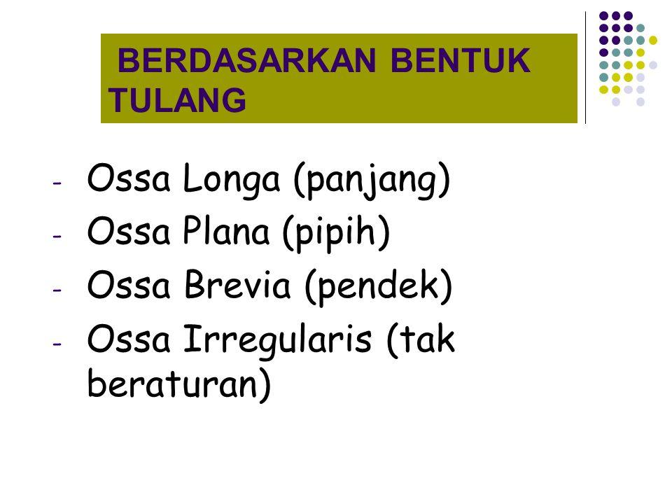 BERDASARKAN BENTUK TULANG - Ossa Longa (panjang) - Ossa Plana (pipih) - Ossa Brevia (pendek) - Ossa Irregularis (tak beraturan)