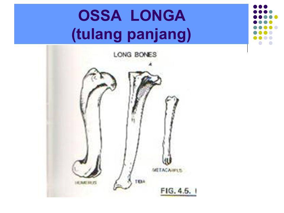 OSSA LONGA (tulang panjang)