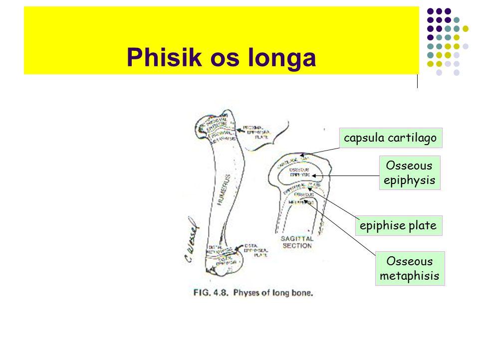 Phisik os longa capsula cartilago Osseous epiphysis epiphise plate Osseous metaphisis