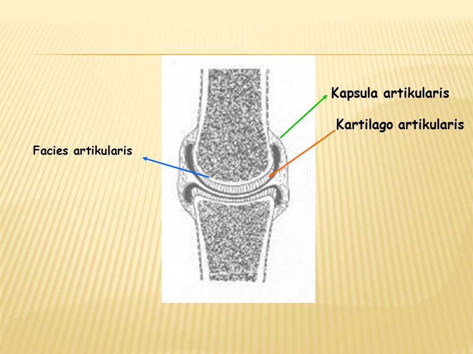 Facies artikularis Kartilago artikularis Kapsula artikularis