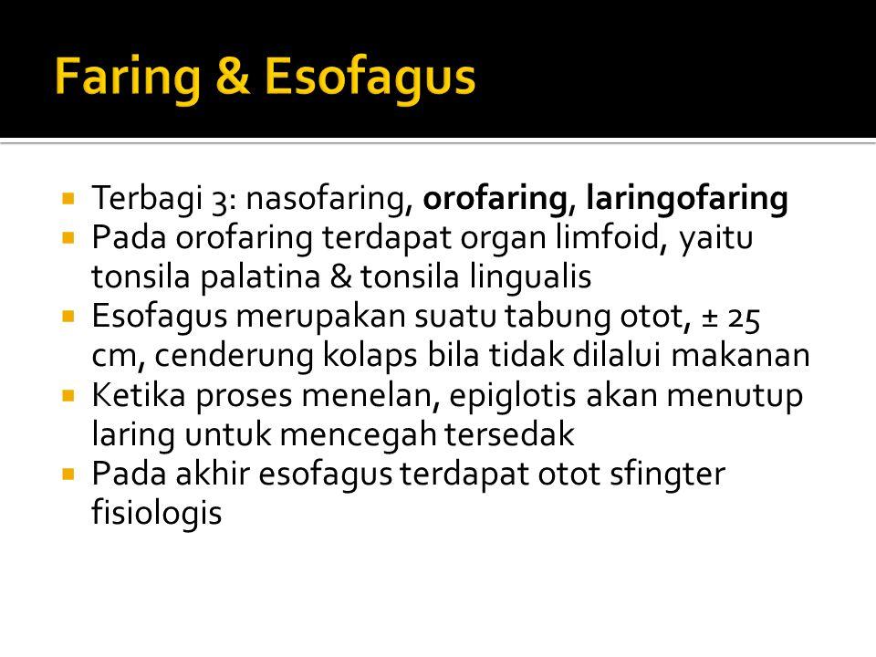  Terbagi 3: nasofaring, orofaring, laringofaring  Pada orofaring terdapat organ limfoid, yaitu tonsila palatina & tonsila lingualis  Esofagus merup