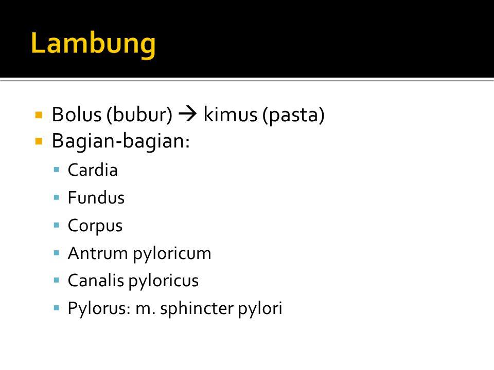  Bolus (bubur)  kimus (pasta)  Bagian-bagian:  Cardia  Fundus  Corpus  Antrum pyloricum  Canalis pyloricus  Pylorus: m. sphincter pylori