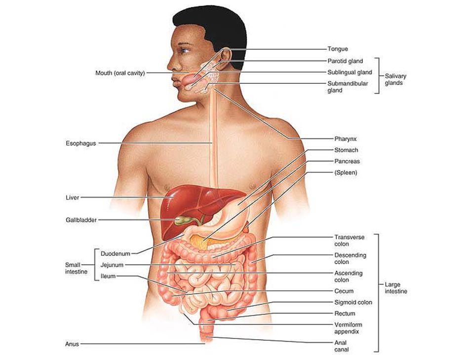  Sel-sel yang terdapat pada mukosa usus halus:  Sel goblet, penghasil mukus (lendir)  Sel enteroendokrin, penghasil hormon sekretin & kolesistokinin  Sel Paneth, penghasil defensin & lisozim utk membunuh mikroba  Pada lapisan submukosa terdapat folikel limfoid  Kelenjar duodenum (Brunner), penghasil bikarbonat sebagai penetral asam lambung