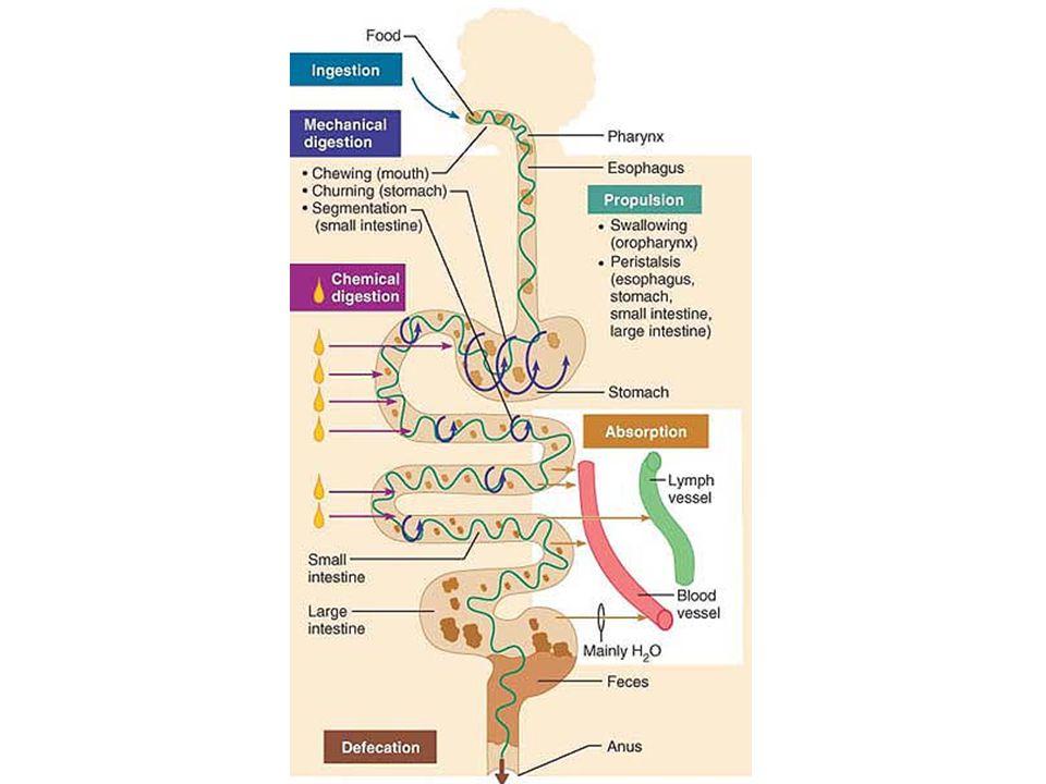  Karbohidrat:  Glukosa & galaktosa: transpor aktif sekunder (masuk ke sel epitel)  difusi terfasilitasi (masuk kapiler)  Fruktosa: difusi terfasilitasi  Protein:  Asam amino: idem glukosa & galaktosa  Lemak: (liat gambar)