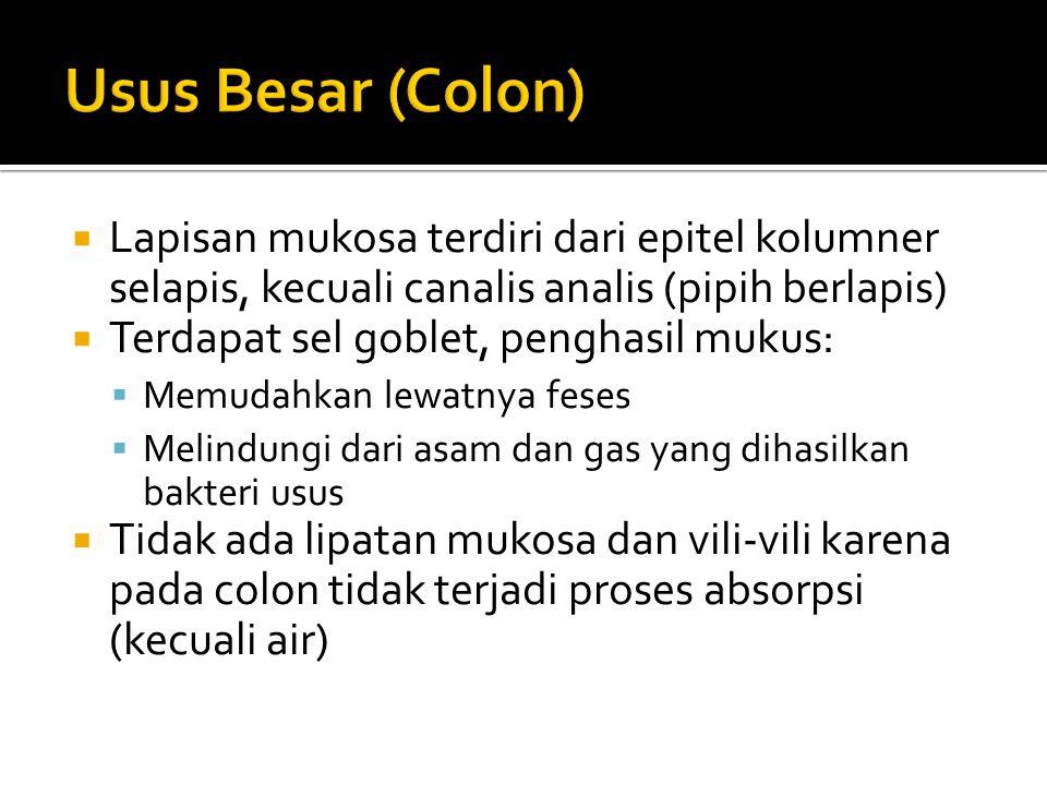  Lapisan mukosa terdiri dari epitel kolumner selapis, kecuali canalis analis (pipih berlapis)  Terdapat sel goblet, penghasil mukus:  Memudahkan le