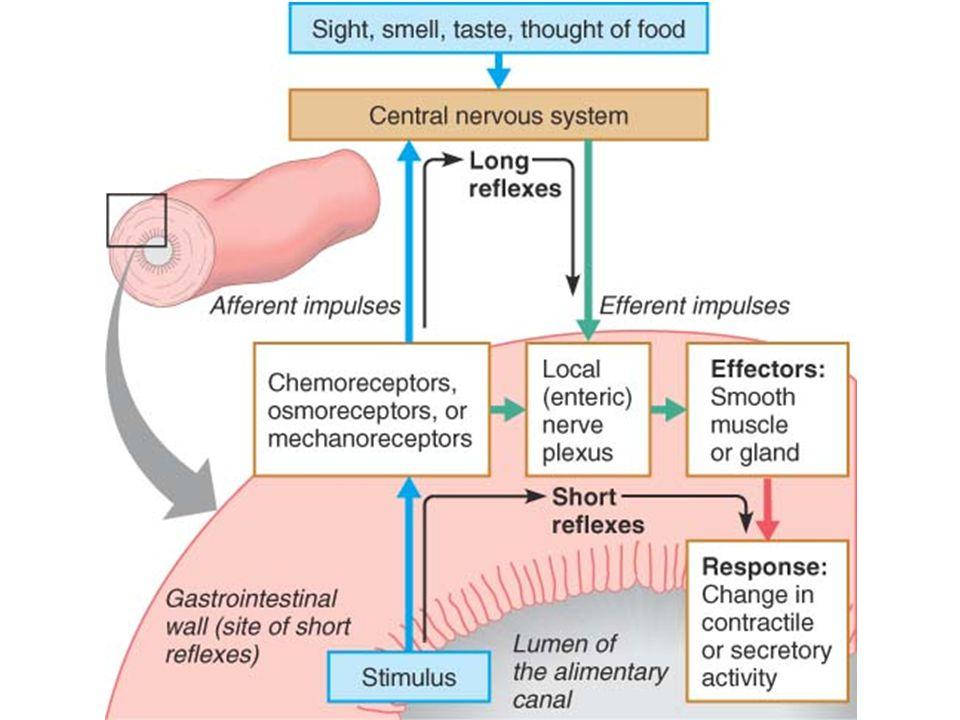  Terdapat 4 tipe sel:  Sel mukus, penghasil mukus (lendir)  Sel parietal, penghasil HCl & faktor intrinsik HCl utk mengaktifkan pepsin, denaturasi protein, menghancurkan dinding sel tanaman Faktor intrinsik utk penyerapan vitamin B12 di usus halus  Sel utama, penghasil pepsinogen utk pencernaan protein  Sel enteroendokrin, penghasil hormon (histamin, serotonin, somatostatin, gastrin)