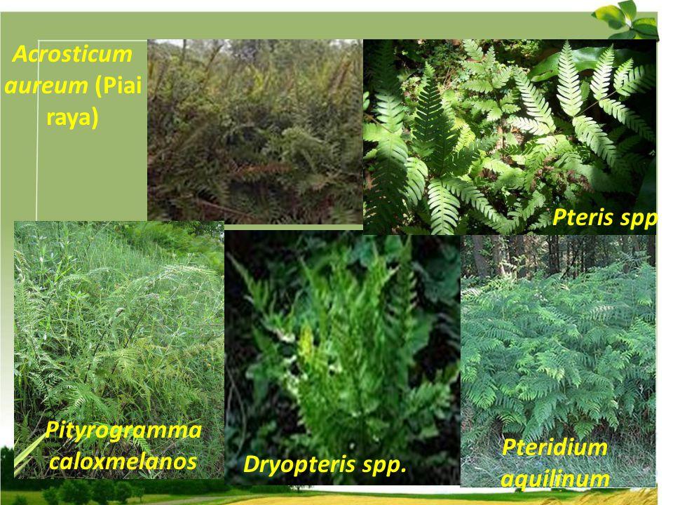 Acrosticum aureum (Piai raya) Pteridium aquilinum Dryopteris spp. Pteris spp Pityrogramma caloxmelanos