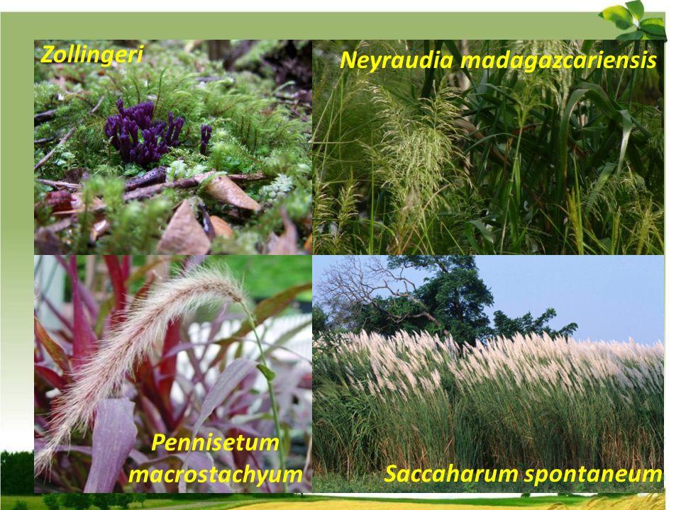 Pennisetum macrostachyum Zollingeri Neyraudia madagazcariensis Saccaharum spontaneum