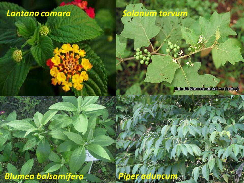 Blumea balsamifera Piper aduncum Solanum torvumLantana camara