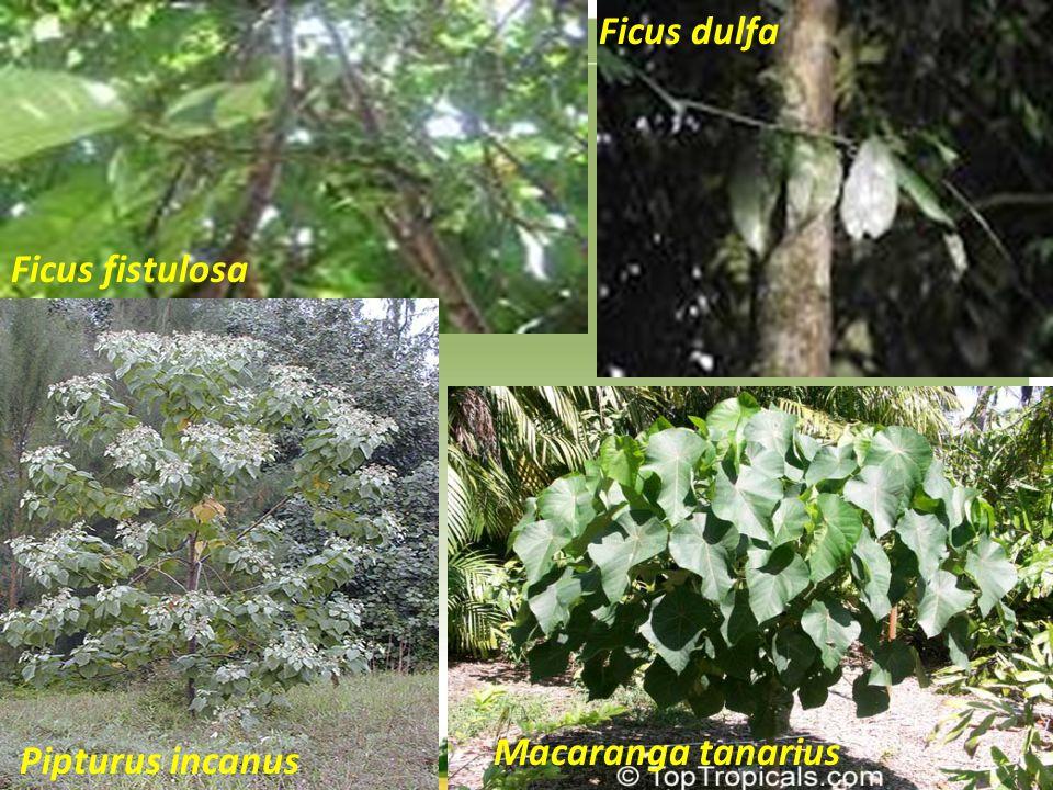 Ficus fistulosa Pipturus incanus Macaranga tanarius Ficus dulfa