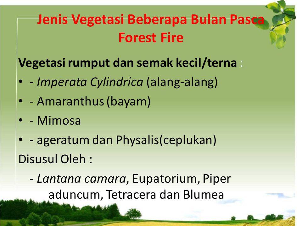 Jenis Vegetasi Beberapa Bulan Pasca Forest Fire Vegetasi rumput dan semak kecil/terna : - Imperata Cylindrica (alang-alang) - Amaranthus (bayam) - Mim