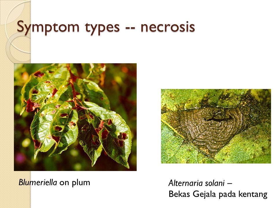 Symptom types -- necrosis Blumeriella on plum Alternaria solani – Bekas Gejala pada kentang