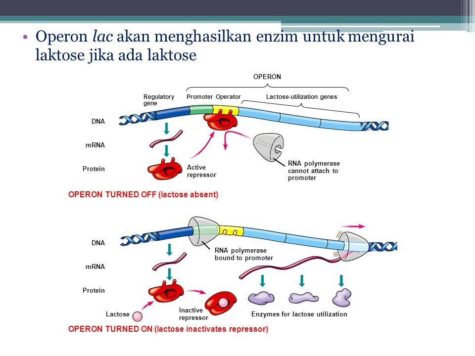 Operon lac akan menghasilkan enzim untuk mengurai laktose jika ada laktose DNA mRNA Protein Regulatory gene PromoterOperatorLactose-utilization genes