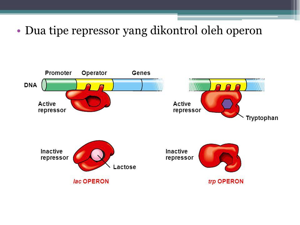 Dua tipe repressor yang dikontrol oleh operon Tryptophan DNA PromoterOperatorGenes Active repressor Inactive repressor lac OPERONtrp OPERON Lactose