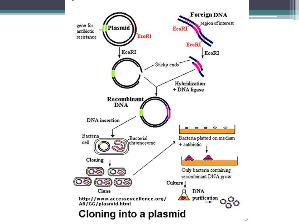 Dalam reproduksi eukariota secara kloning, embrio diimplantasikan di induknya Untuk terapi, kloning dihasilkan dari stem sel embrionik –Stem cells can help patients with damaged tissues