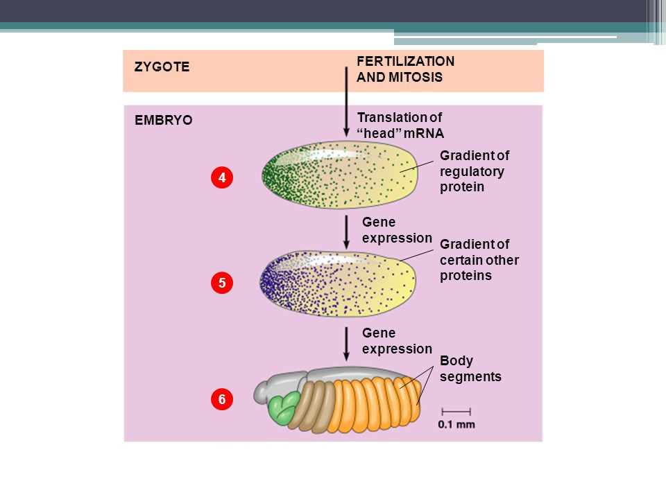 "EMBRYO 4 Gradient of regulatory protein Gene expression Translation of ""head"" mRNA Gradient of certain other proteins Gene expression Body segments 5"