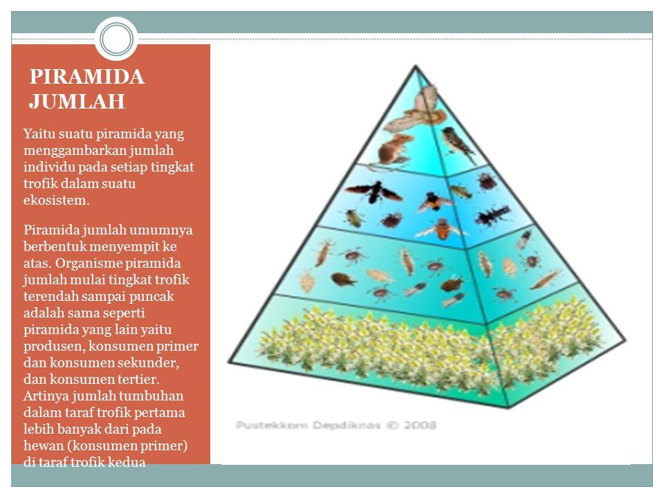 PIRAMIDA JUMLAH Yaitu suatu piramida yang menggambarkan jumlah individu pada setiap tingkat trofik dalam suatu ekosistem. Piramida jumlah umumnya berb