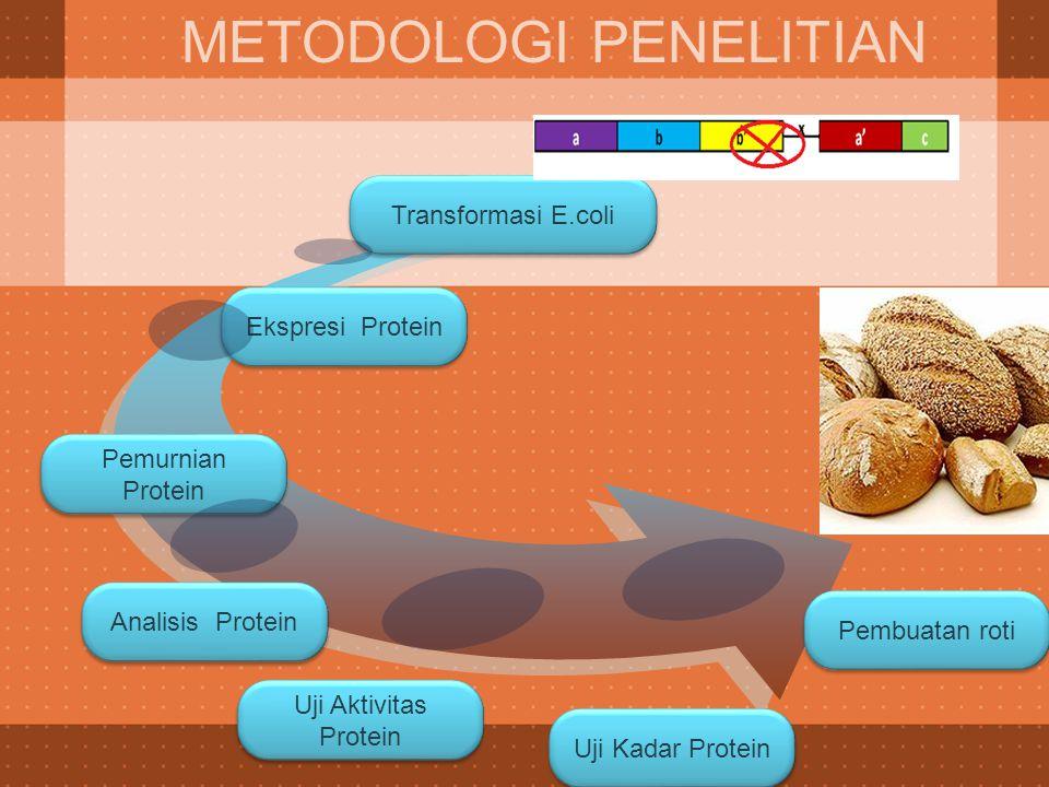 Ekspresi Protein Transformasi E.coli METODOLOGI PENELITIAN Pemurnian Protein Analisis Protein Uji Aktivitas Protein Uji Kadar Protein Pembuatan roti