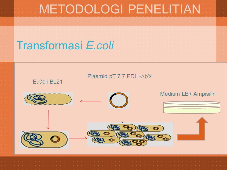 Transformasi E.coli METODOLOGI PENELITIAN E.Coli BL21 Plasmid pT 7.7 PDI1-∆b'x Medium LB+ Ampisilin