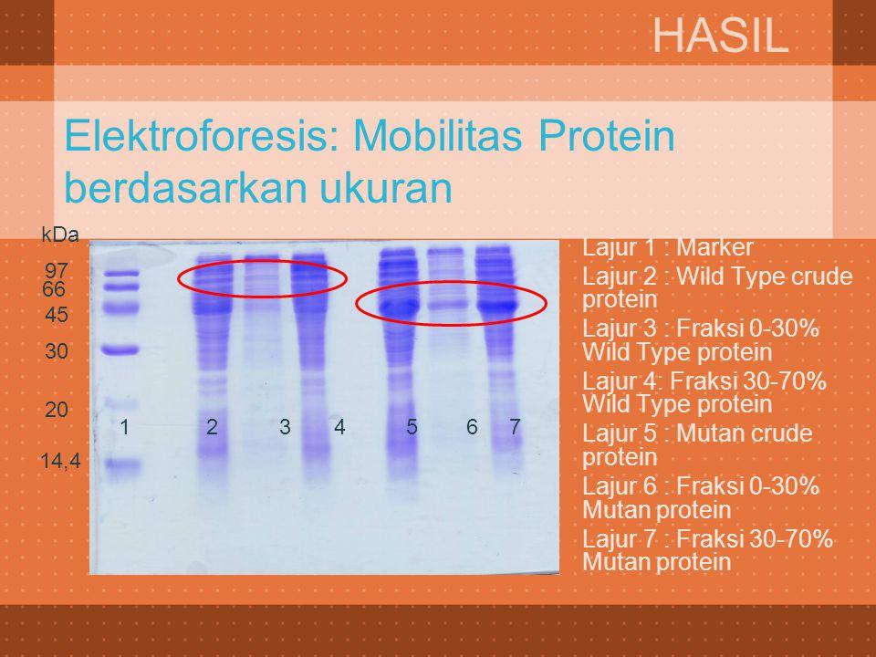 Elektroforesis: Mobilitas Protein berdasarkan ukuran  Lajur 1 : Marker  Lajur 2 : Wild Type crude protein  Lajur 3 : Fraksi 0-30% Wild Type protein