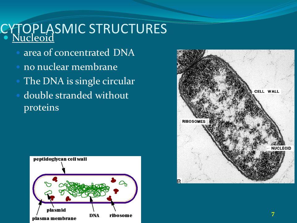8 STRUKTUR SITOPLASMATIK Ribosom sitoplasmatik, bukan attached to organela Plasmid Extrachromosomal loops of DNA some code for drug resistance toxins