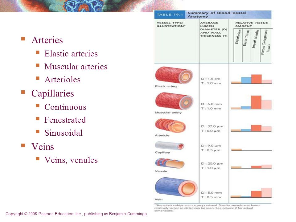 Copyright © 2008 Pearson Education, Inc., publishing as Benjamin Cummings  Arteries  Elastic arteries  Muscular arteries  Arterioles  Capillaries  Continuous  Fenestrated  Sinusoidal  Veins  Veins, venules