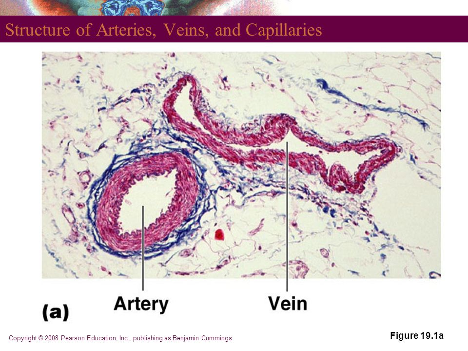 Structure of Arteries, Veins, and Capillaries Figure 19.1a