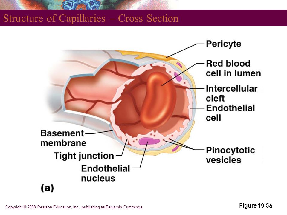 Copyright © 2008 Pearson Education, Inc., publishing as Benjamin Cummings Structure of Capillaries – Cross Section Figure 19.5a
