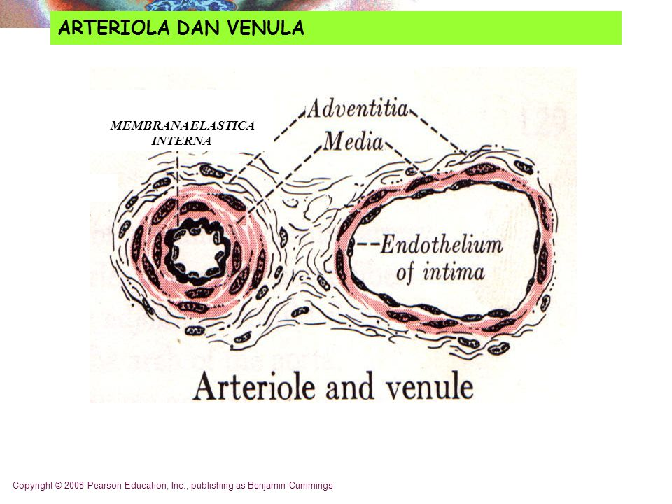Copyright © 2008 Pearson Education, Inc., publishing as Benjamin Cummings ARTERIOLA DAN VENULA MEMBRANA ELASTICA INTERNA