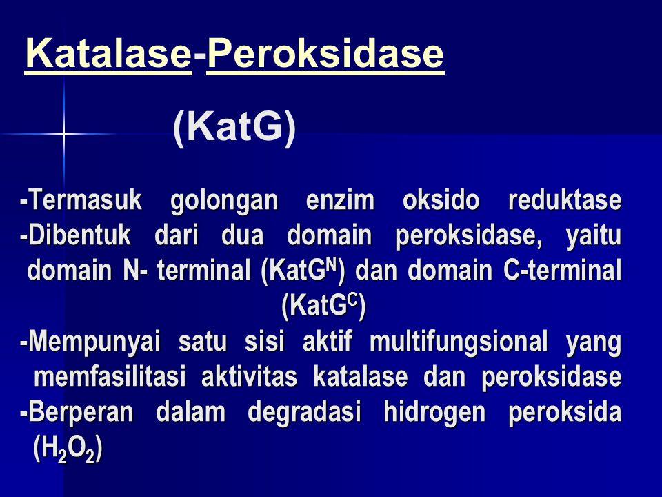 -Termasuk golongan enzim oksido reduktase -Dibentuk dari dua domain peroksidase, yaitu domain N- terminal (KatG N ) dan domain C-terminal (KatG C ) -M