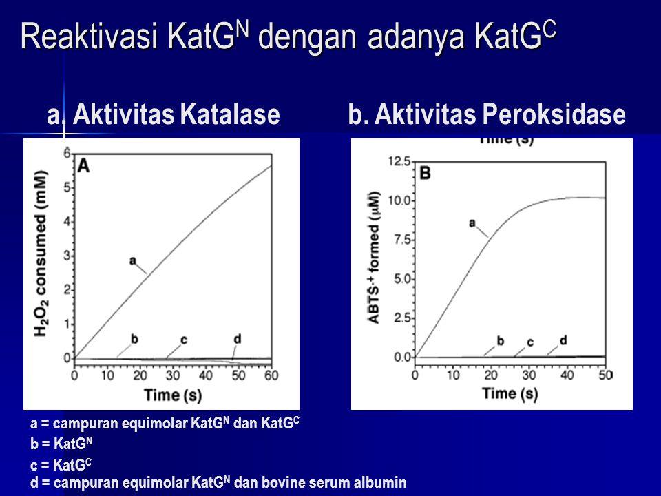 Aktivasi Katalase dan Peroksidase berdasarkan Waktu Inkubasi pada Campuran Equimolar KatG N dan KatG C K react aktivasi Katalase = 3,4x10 -3 min -1 K react aktivasi Katalase = 3,4x10 -3 min -1 K react aktivasi Peroksidase = 2,5x10 -3 min -1 K react aktivasi Peroksidase = 2,5x10 -3 min -1