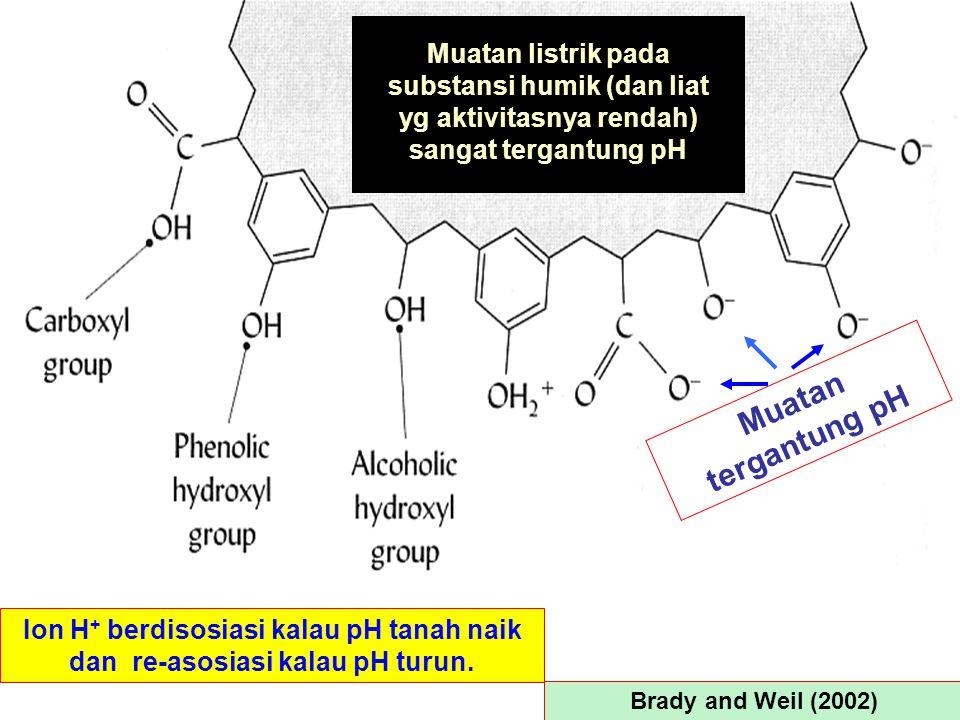 Brady and Weil (2002) Muatan tergantung pH Ion H + berdisosiasi kalau pH tanah naik dan re-asosiasi kalau pH turun. Muatan listrik pada substansi humi