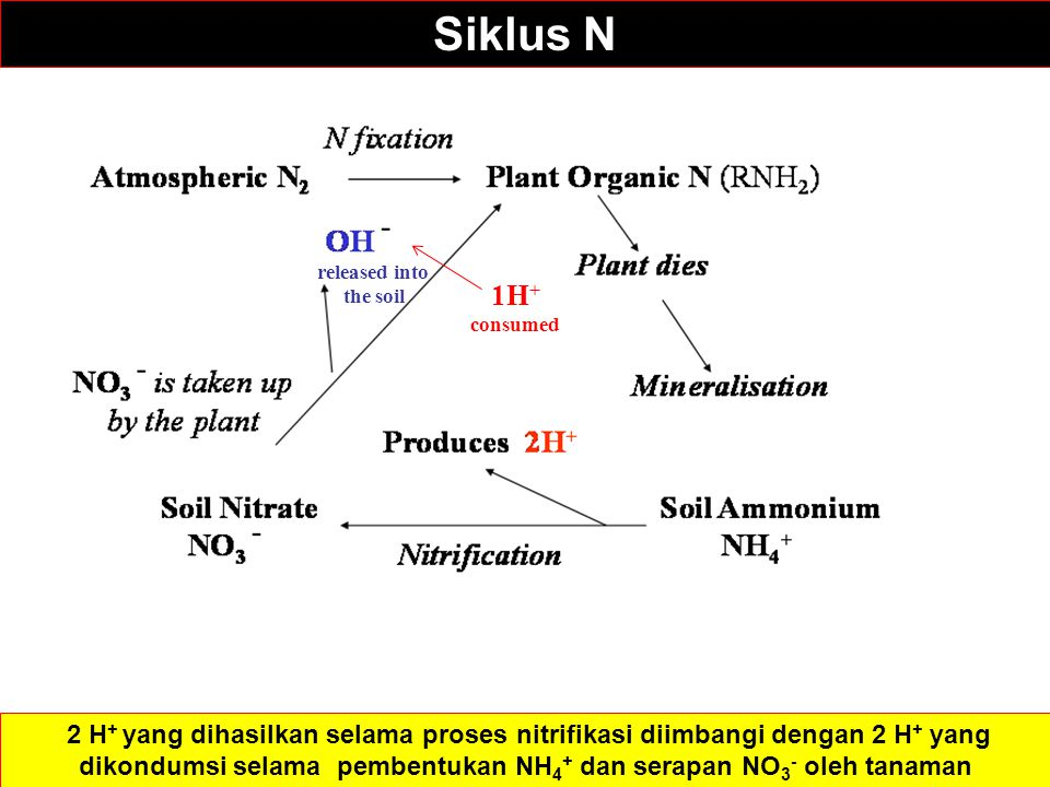 NH 3 1H + consumed released into the soil Siklus N 2 H + yang dihasilkan selama proses nitrifikasi diimbangi dengan 2 H + yang dikondumsi selama pembentukan NH 4 + dan serapan NO 3 - oleh tanaman