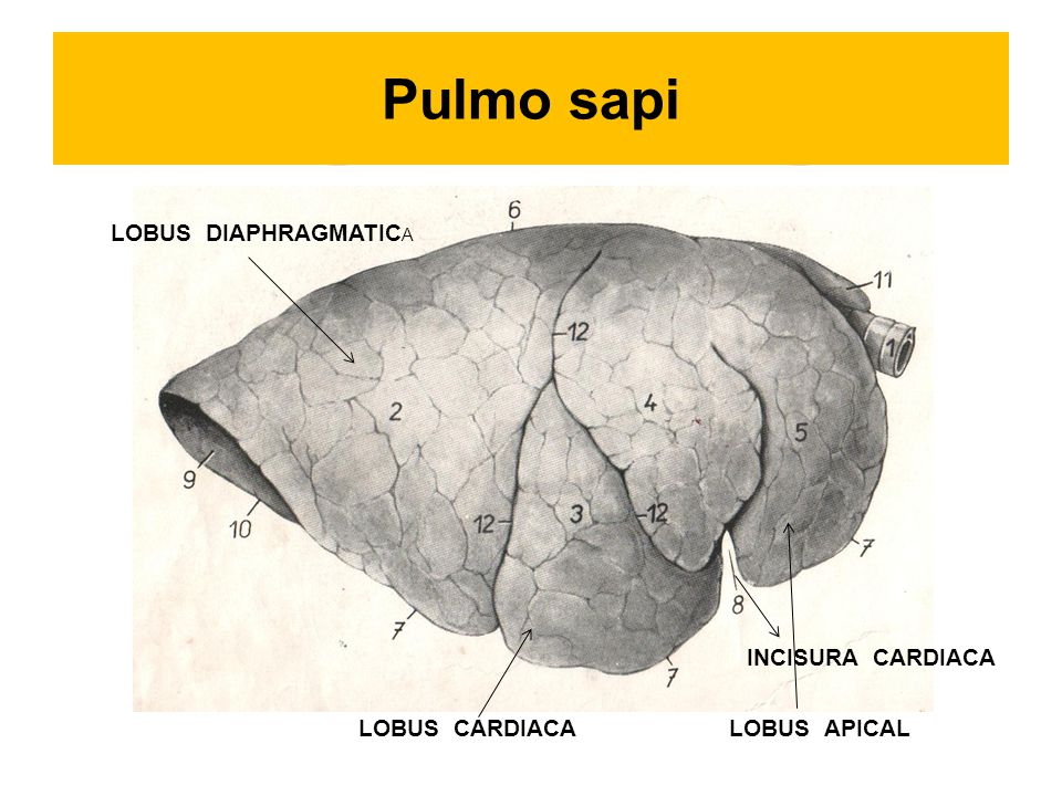 Pulmo sapi LOBUS DIAPHRAGMATIC A LOBUS CARDIACALOBUS APICAL INCISURA CARDIACA