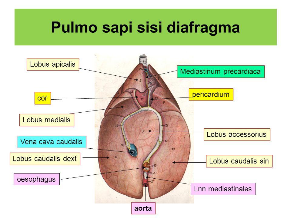 Pulmo sapi sisi diafragma Lobus accessorius Lobus caudalis dext Lobus caudalis sin cor pericardium Mediastinum precardiaca Lobus apicalis Lobus medialis aorta oesophagus Lnn mediastinales Vena cava caudalis