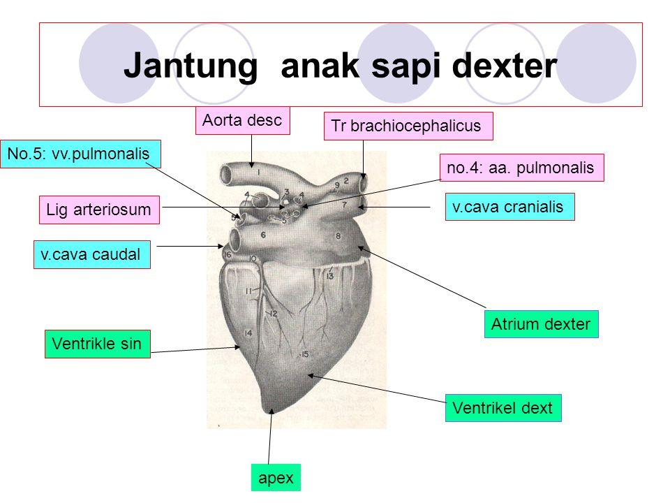 Jantung anak sapi dexter Lig arteriosum Aorta desc Tr brachiocephalicus v.cava caudal v.cava cranialis no.4: aa. pulmonalis No.5: vv.pulmonalis Atrium