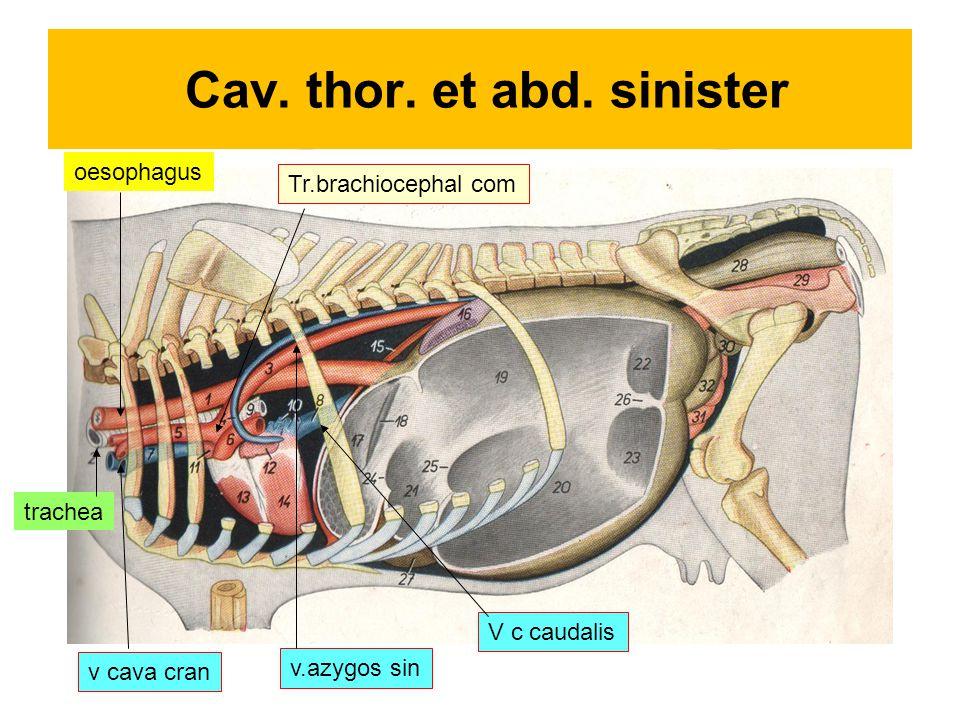 Cav. thor. et abd. sinister oesophagus v cava cran Tr.brachiocephal com v.azygos sin trachea V c caudalis