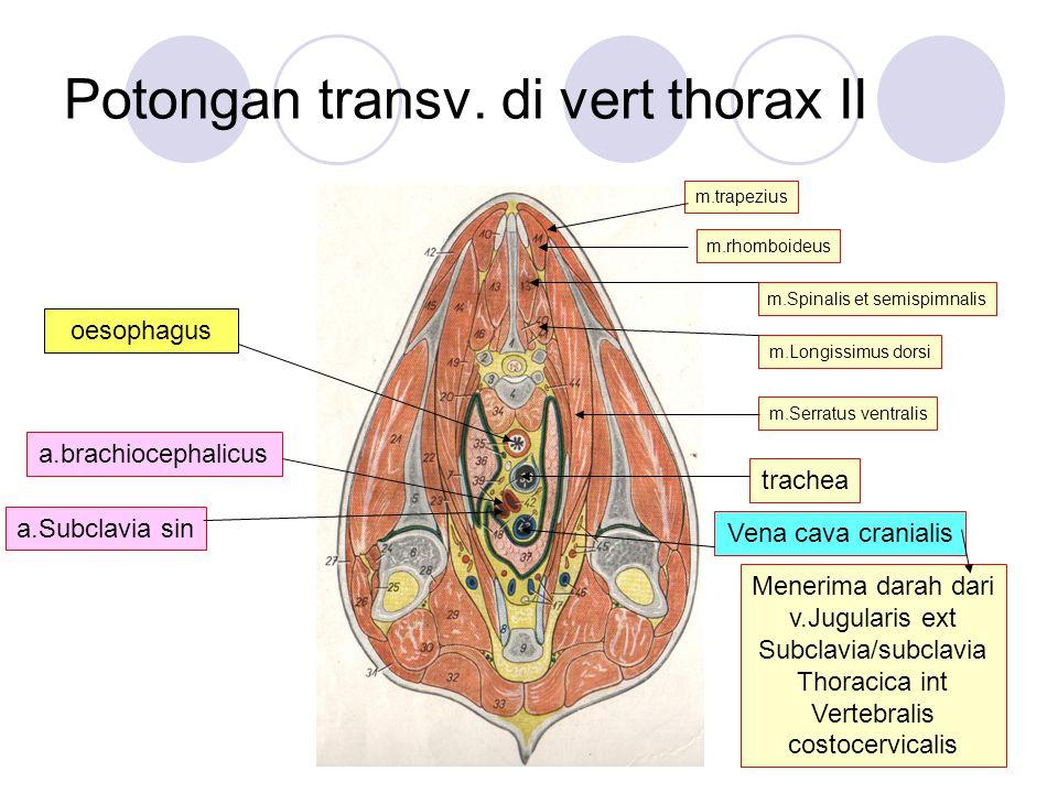 Potongan transv. di vert thorax II trachea Vena cava cranialis a.Subclavia sin a.brachiocephalicus Menerima darah dari v.Jugularis ext Subclavia/subcl