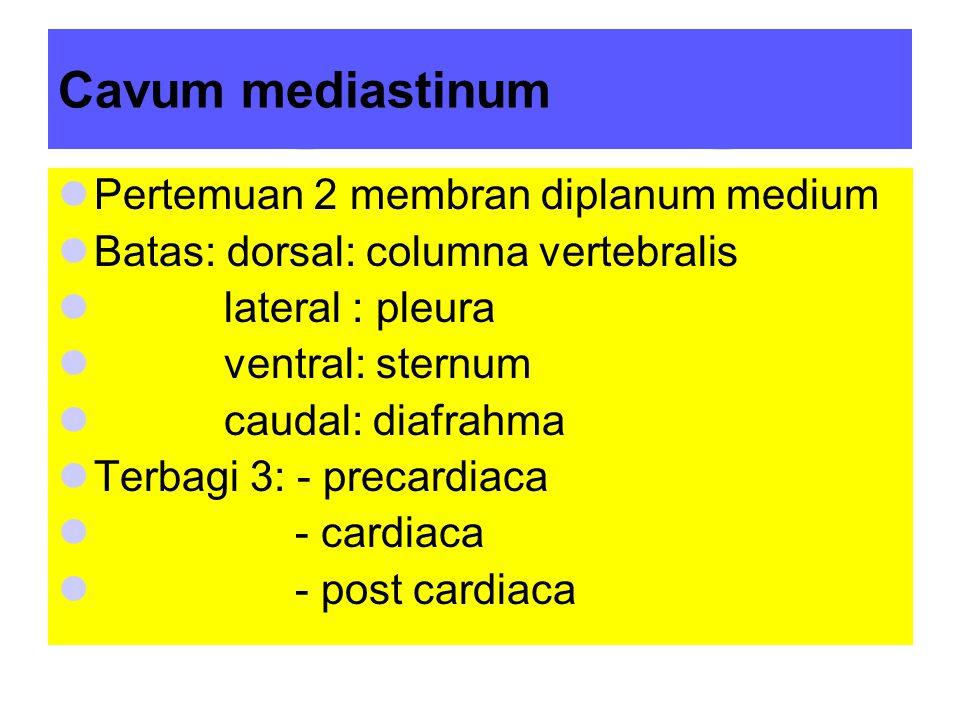Cavum mediastinum Pertemuan 2 membran diplanum medium Batas: dorsal: columna vertebralis lateral : pleura ventral: sternum caudal: diafrahma Terbagi 3: - precardiaca - cardiaca - post cardiaca