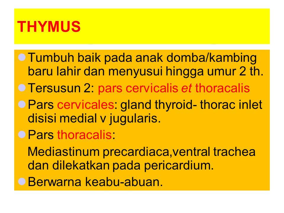 THYMUS Tumbuh baik pada anak domba/kambing baru lahir dan menyusui hingga umur 2 th. Tersusun 2: pars cervicalis et thoracalis Pars cervicales: gland