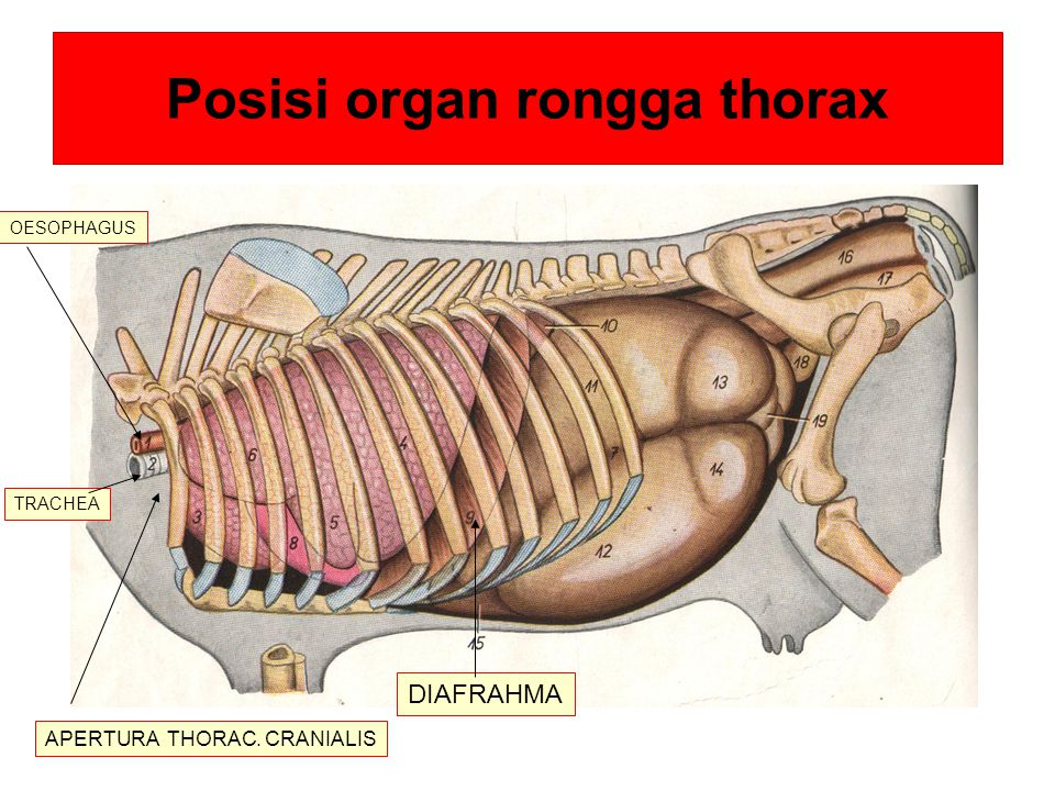 Pot melintang vert thorax IV pulmo a/v.thoracica interna cor oesophagus m.Longus colli trachea