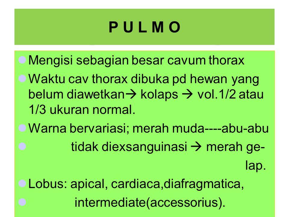 P U L M O Mengisi sebagian besar cavum thorax Waktu cav thorax dibuka pd hewan yang belum diawetkan  kolaps  vol.1/2 atau 1/3 ukuran normal.