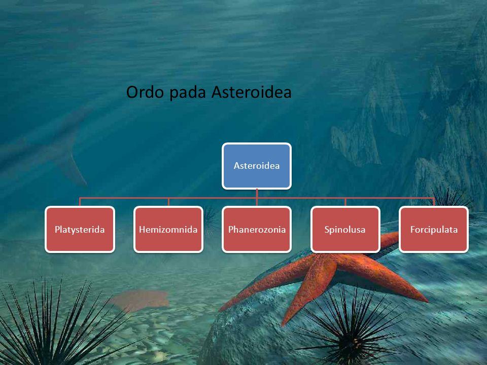 Ordo pada Asteroidea AsteroideaPlatysteridaHemizomnidaPhanerozoniaSpinolusaForcipulata