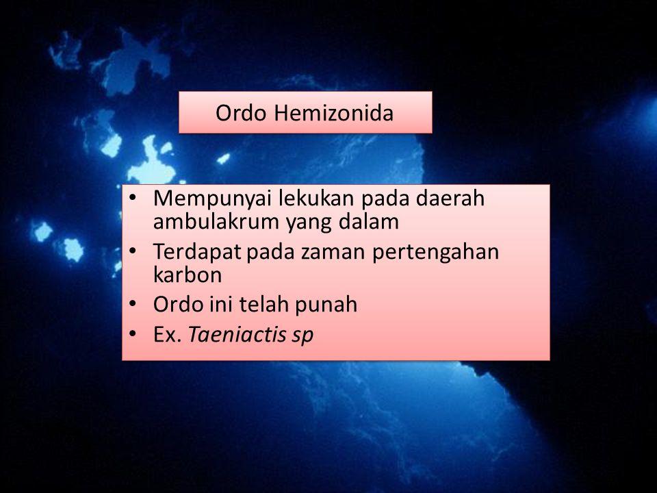 Ordo Hemizonida Mempunyai lekukan pada daerah ambulakrum yang dalam Terdapat pada zaman pertengahan karbon Ordo ini telah punah Ex. Taeniactis sp Memp