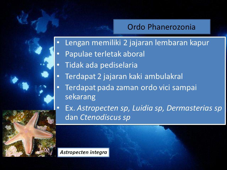 Ordo Phanerozonia Lengan memiliki 2 jajaran lembaran kapur Papulae terletak aboral Tidak ada pediselaria Terdapat 2 jajaran kaki ambulakral Terdapat pada zaman ordo vici sampai sekarang Ex.